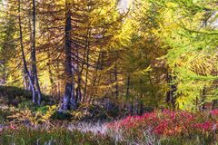 Alpe devero autumnal mountain landscape. Blue berry shrubbery in the foreground with larches trees in the background inside Alpe Devero mountain royalty free stock photos