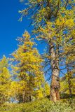 Alpe devero autumnal mountain landscape. A larches trees forest with a blue sky in the background inside the Alpe Devero stock photography