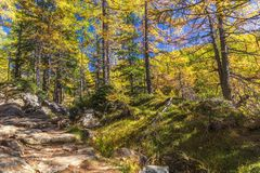 Alpe devero autumnal mountain landscape. A stone footpath inside a larches trees forest with a blue sky in the background inside the Alpe Devero royalty free stock photography