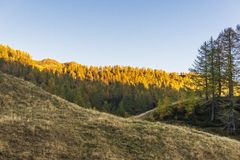 Alpe devero autumnal mountain landscape. Sunset over a larches and pines trees forest inside the Alpe Devero flat land royalty free stock images