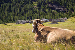 Alpe Veglia mountain pasture. Cow in Alpe Veglia italian natural park, Piemonte, Italy Royalty Free Stock Photo