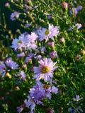 Alpejscy asterów kwiaty Obraz Stock