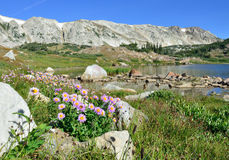 Alpejscy kwiaty przed medycyną Kłaniają się góry Wyoming Zdjęcie Stock