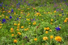 Alpejscy kwiaty w Altai górach, Lipiec 2016 Obraz Royalty Free