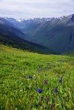 Alpejscy kwiaty w Altai górach, Lipiec 2016 Zdjęcia Royalty Free