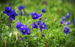 Alpejscy kwiaty w Altai górach, Lipiec 2016 Obrazy Royalty Free