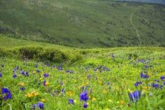 Alpejscy kwiaty w Altai górach, Lipiec 2016 Fotografia Stock