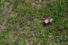 Alpejscy paśnika i góry kwiaty obraz royalty free