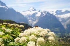 Alpejscy szczyty Grindelwald i Jungfrau Landskape tło Bernese średniogórze Alps, turystyka, podróż, wycieczkuje fotografia royalty free