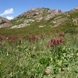 Alpejscy Wildflowers II Zdjęcia Royalty Free