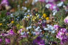 Alpejska łąka w summe Fotografia Royalty Free