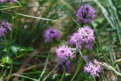 Alpejska dzika macierzanka, Thymus serpyllum, pasterska ` s macierzanka Fotografia Stock