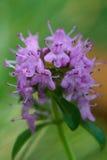 Alpejska dzika macierzanka, Thymus serpyllum, pasterska ` s macierzanka Zdjęcia Royalty Free