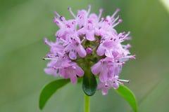 Alpejska dzika macierzanka, Thymus serpyllum, pasterska ` s macierzanka Zdjęcie Royalty Free