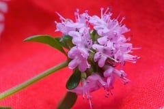Alpejska dzika macierzanka, Thymus serpyllum, pasterska ` s macierzanka Zdjęcia Stock