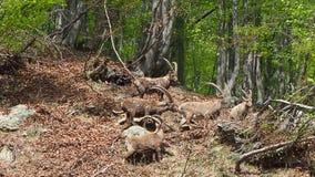 Alpejska koziorożec lub steinbock w wiosna sezonie który kamuflaż w polu wokoło drewna Włochy, Orobie Alps zbiory