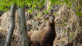 Alpejska koziorożec lub steinbock w wiosna sezonie który kamuflaż w polu wokoło drewna Włochy, Orobie Alps zbiory wideo