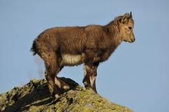 Alpejska koziorożec mistrz góry fotografia stock