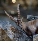 Alpejska koziorożec Alpejska koziorożec jest gatunki genus kózka Fotografia Stock