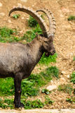 Alpejska koziorożec samiec obrazy stock