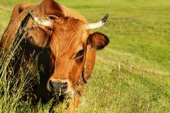 Alpejska krowa fotografia stock