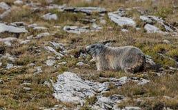 Alpejski świstak Zdjęcia Stock