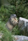 Alpejski świstak, Marmota marmota Zdjęcia Stock