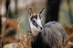 Alpejski giemzowy ssak Zdjęcia Stock