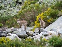 Alpejski halnej kózki dziecko w dzikiej naturze Zdjęcie Stock