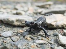 Alpejski jaszczur Fotografia Royalty Free