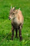 Alpejski koziorożec dzieciak fotografia stock