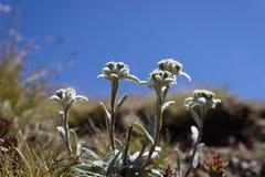 Alpejski kwiat, Leontopodium alpinum szarotka z niebieskim niebem jako tło kosmos kopii obrazy royalty free