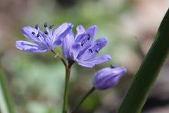 Alpejski squill lub liścia squill błękitny kwiat Fotografia Royalty Free
