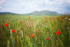 Alpejskie łąki z maczkiem Obraz Stock