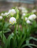 Alpejskie śnieżyczki - lasowa wiosna kwitnie, zamazywał, tło Obraz Stock