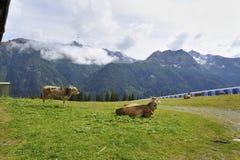 Alpejskie krowy Zdjęcia Royalty Free