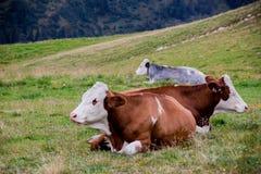 Alpejskie krowy Fotografia Royalty Free