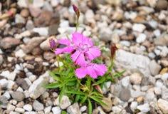 Alpejskie menchie (Dianthus alpinus) obraz stock
