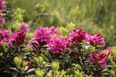 Alpejskie róże fotografia royalty free