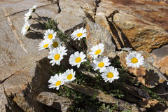 Alpejskiego kwiatu Leucanthemopsis alpina księżyc wysokogórska stokrotka, Aosta dolina Włochy Fotografia Stock
