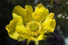 Alpejskiego kwiatu zbliżenia Geum Reptans Pnący kukliki, Aosta dolina, Włochy Obraz Stock