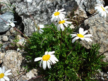 Alpen chamomile ( camomile ) on the rocks Stock Images