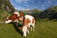 Alpen cows Stock Photos