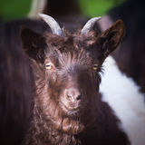 Alpen hairy goat Royalty Free Stock Images