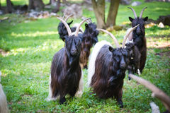 Alpen hairy goats Stock Images
