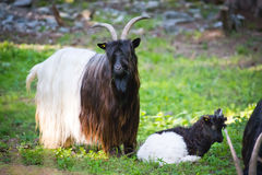 Alpen hairy goats Royalty Free Stock Photos