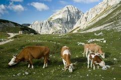 Alpen-Kühe Lizenzfreies Stockfoto