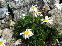 Alpen-Kamille (Kamille) auf den Felsen Stockbilder