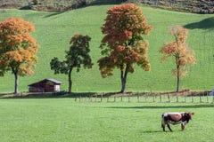 Alpen-Kuh. lizenzfreie stockbilder
