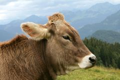 Alpen-Milch Lizenzfreie Stockbilder